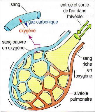 Alveole thumb2