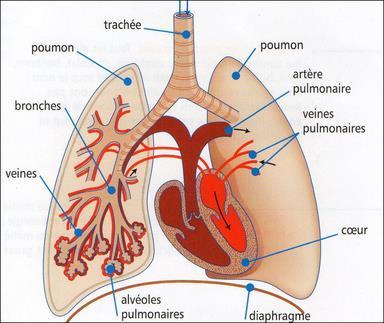 Poumons thumb